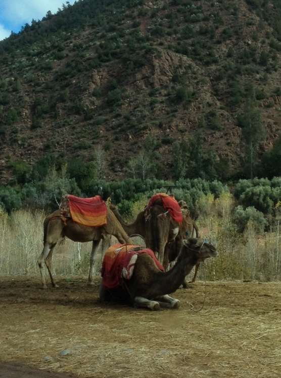 Camels in the Atlas Mountains